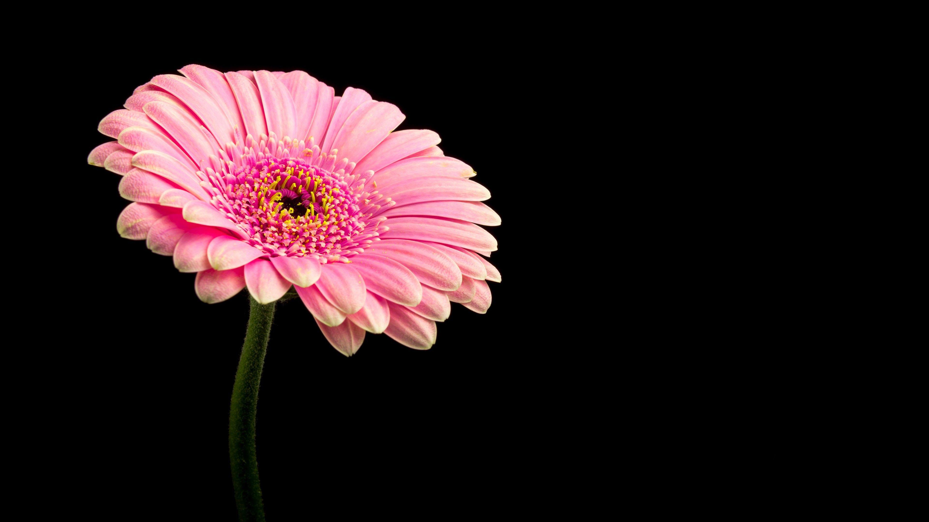 Pink Daisy Flower 4k Wallpaper Pink Daisy Daisy Flower Flowers