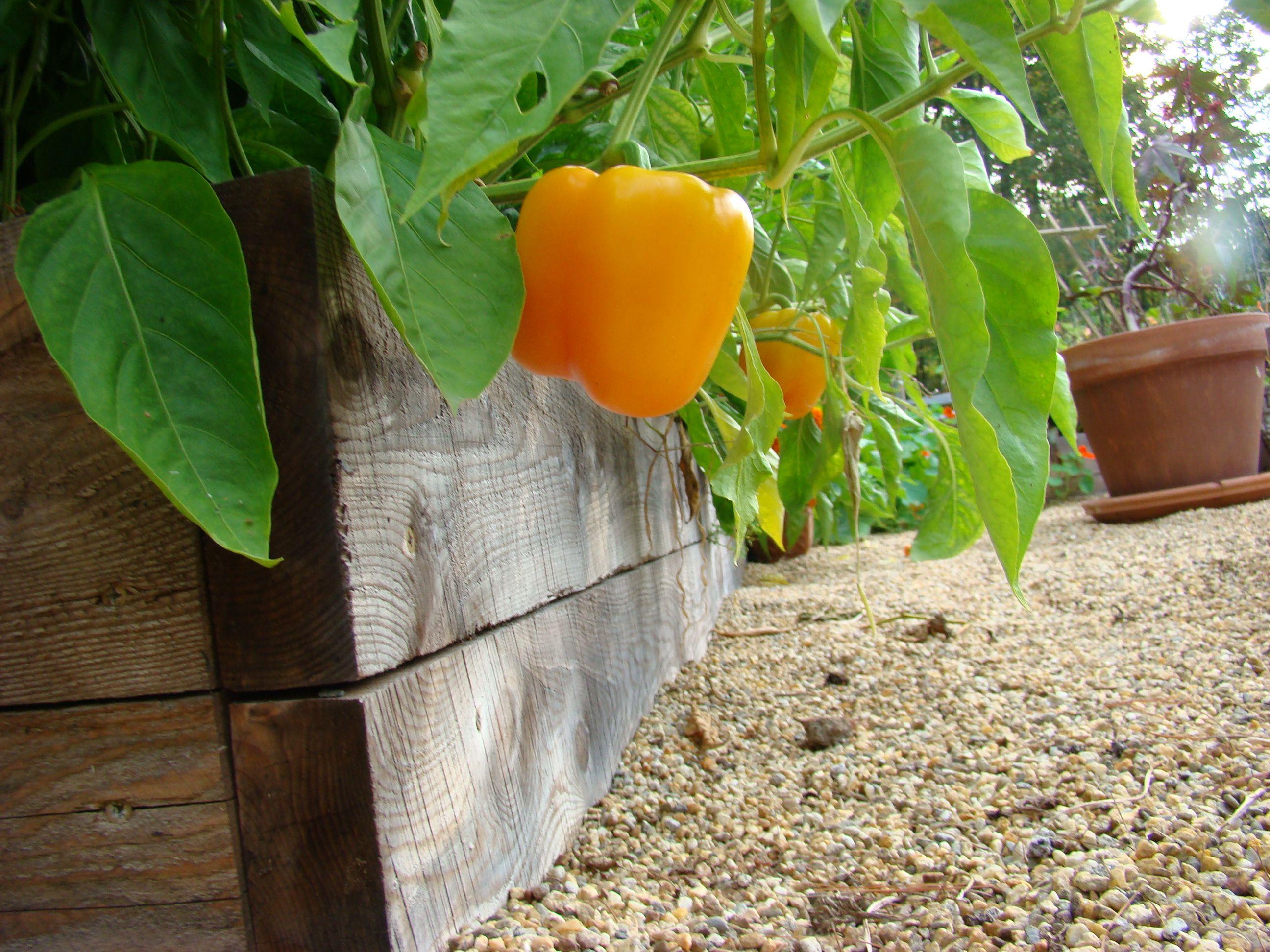 jamaican pepper