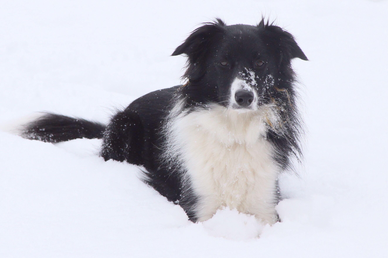Border Collie....the Rowdy Girl loves the snow!