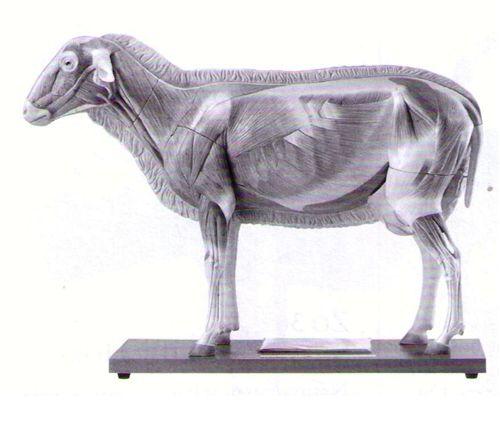sheep anatomy - Cerca con Google | Хонь | Pinterest | Anatomy ...