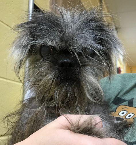 Shiffon Dog For Adoption In Kennesaw Ga Adn 642712 On
