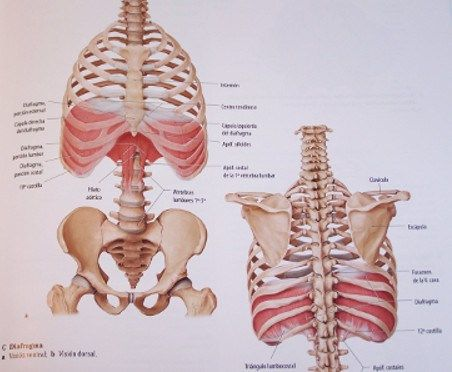 Diafragma con inserción en las vértebras lumbares mediante dos ...