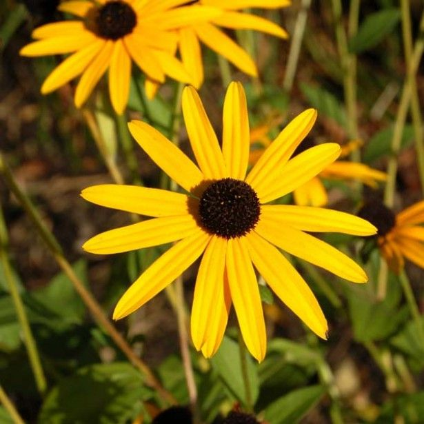 Rudbeckia+fulgida+Goldsturm+-+Soleil+vivace+d\'automne | jardin ...