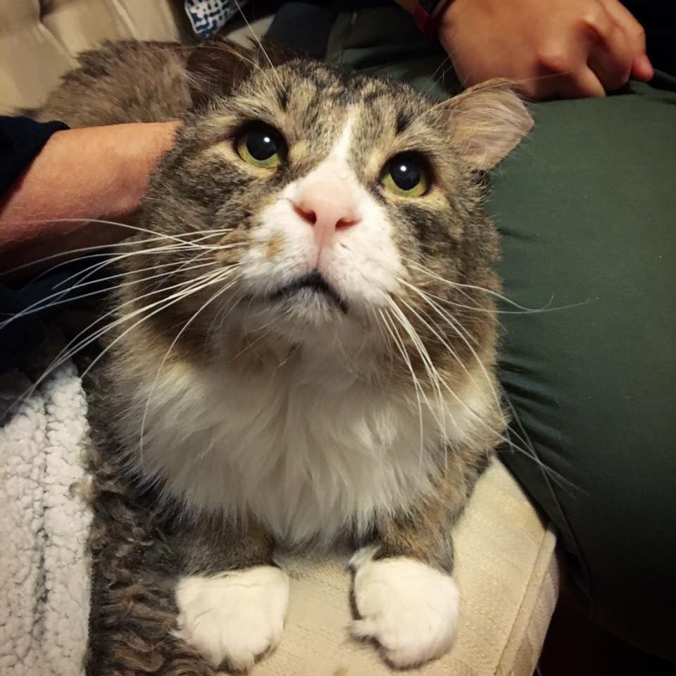 A Ragged Looking Cat Was Spotted On The Streets Of Montreal He Looked As If He D Been Fending For Himself Living An Outdoo Cats Cats And Kittens Munchkin Cat