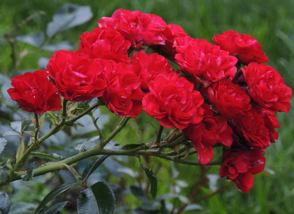 Hoa hồng leo Red Fairy rose | Red flowers, Flowers, Rose flower