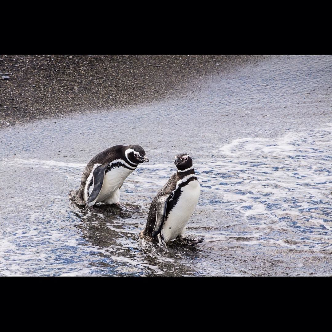 Two Little Penguins From The Beagle Channel In Argentina