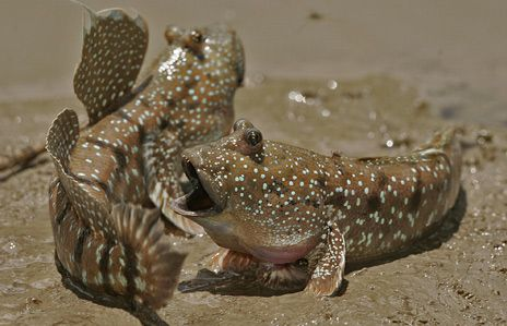 You know, when you tell a joke and start to walk away and THEN the person gets it? LOL    Mudskipper Fish (Oxudercinae)