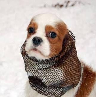 Pelo Snood Kolnierz Nausznik Kaptur Na Uszy S M 2377352526 Oficjalne Archiwum Allegro Animals Dogs Shows