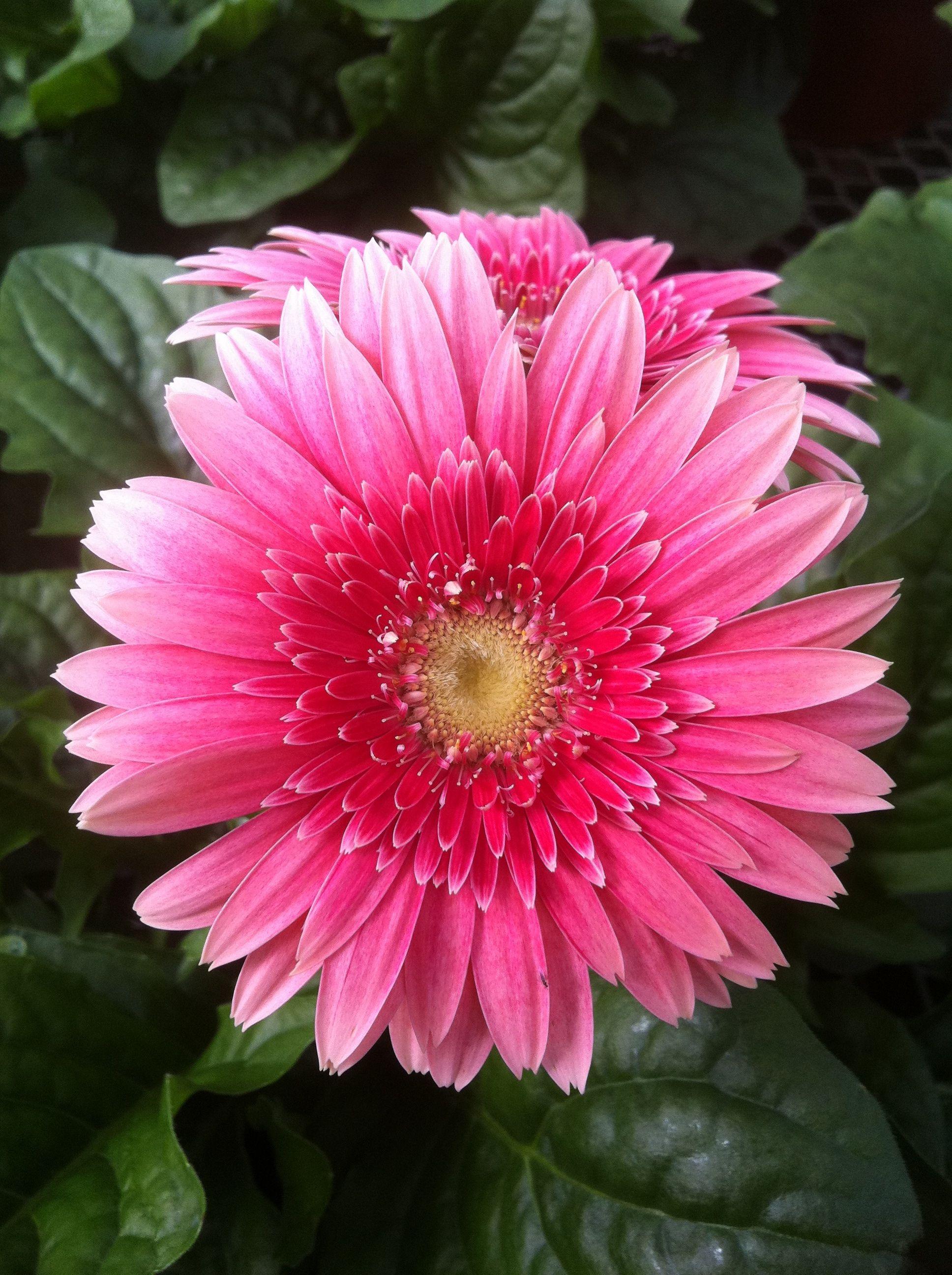 Pin By Klepac Greenhouses Inc On Gerbera Daisies Beautiful Flowers Gerbera Daisy Gerbera