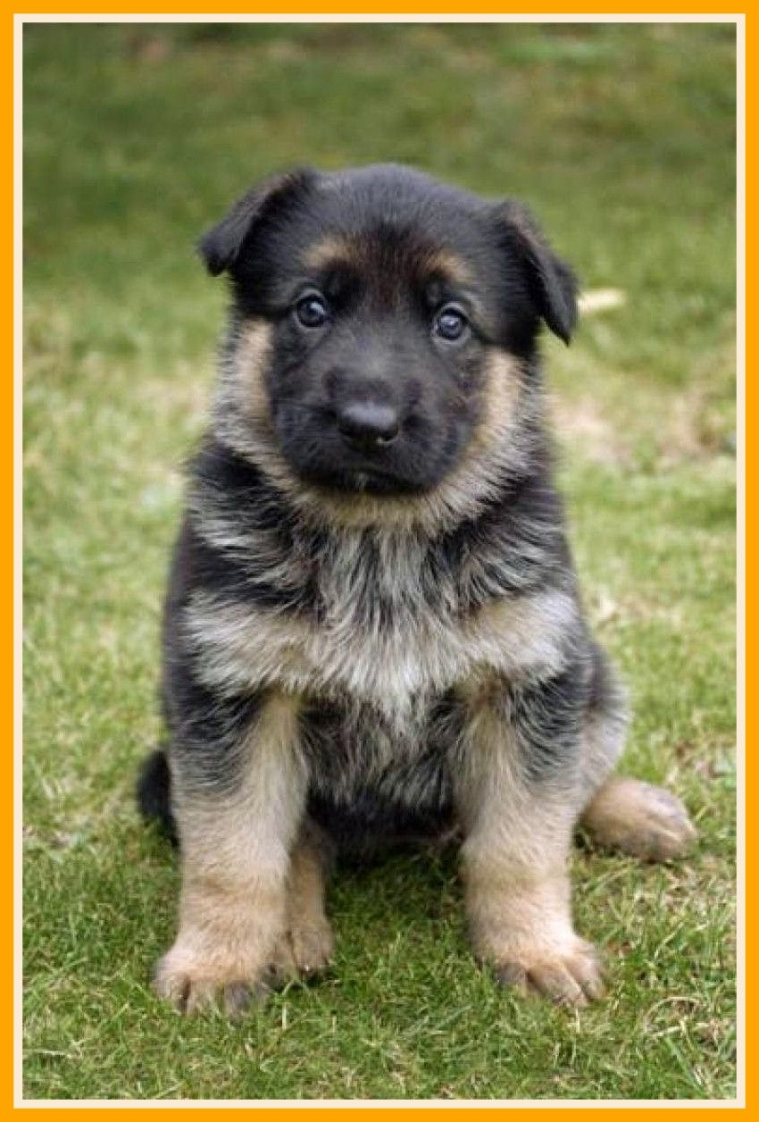 Cute German Shepherd Puppies Wallpaper Desktop Puppies German