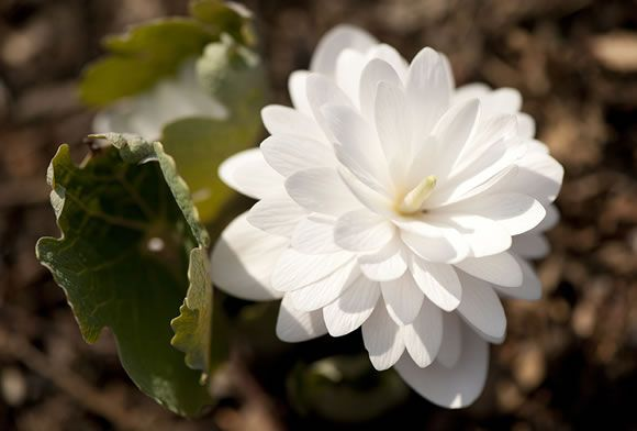 What's in a name? Ask dogtooth and bloodroot. Together they kind of sound like the beginning of a Shakespearean curse or insult, no? And yet, they're such beautiful ephemeral spring wildflowers!