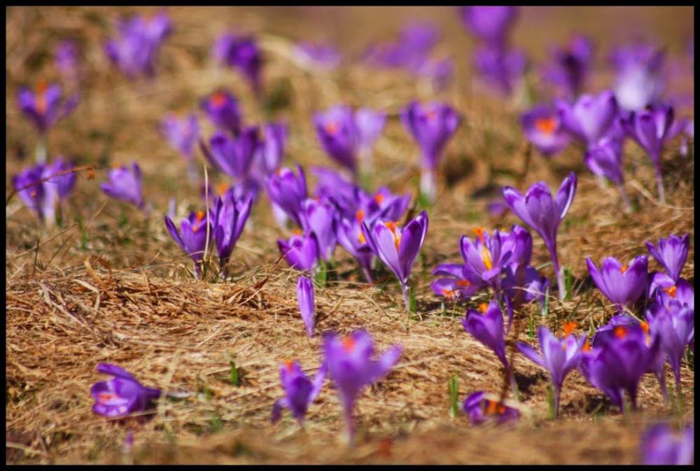 Tatry Dolina Chocholowska Krokusy Polana Chocholowska Gory Mountains Poland Polska Zakopane Crocuses Kwiaty Flowers Pol Photo Google Photos Plants