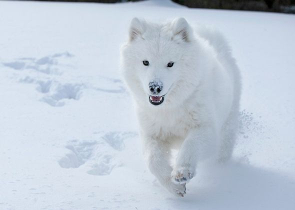 7 Great Snow Dog Breeds Foto Sobak Sobaki