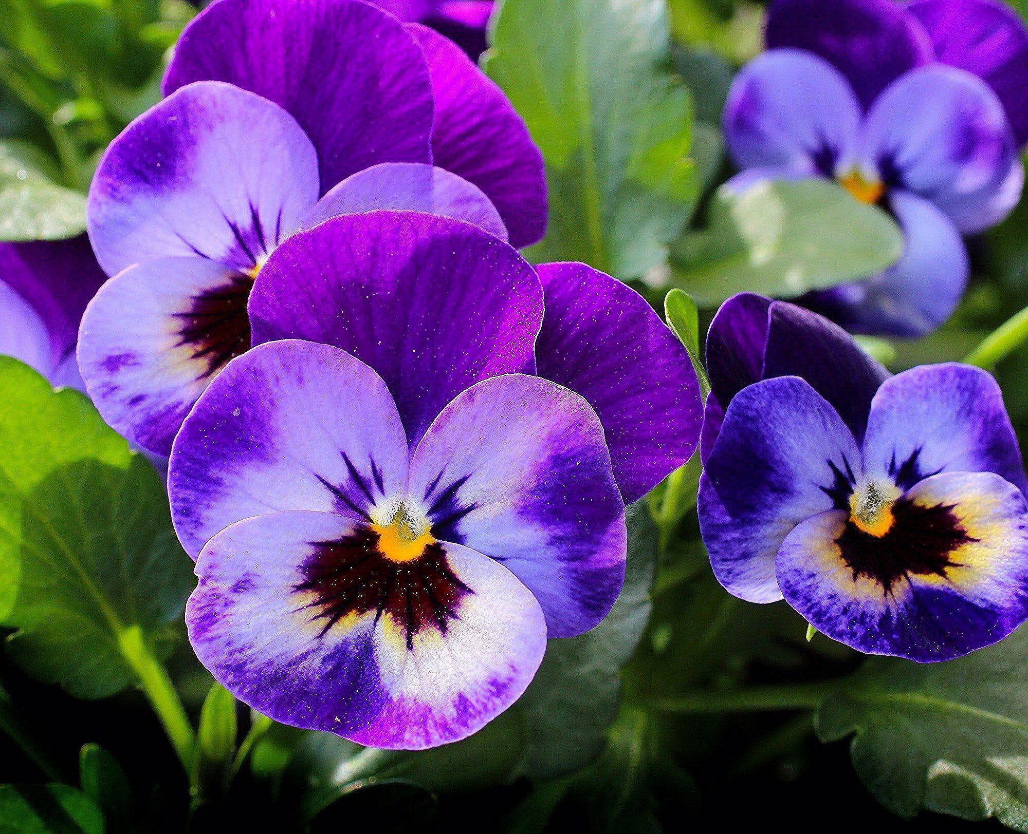 Gozdzik Chaber Bratek Jak Mozemy Odczytac Symbolike Kwiatow Galeria Cz 1 In 2020 Pansies Flowers Easy To Grow Flowers Pansies