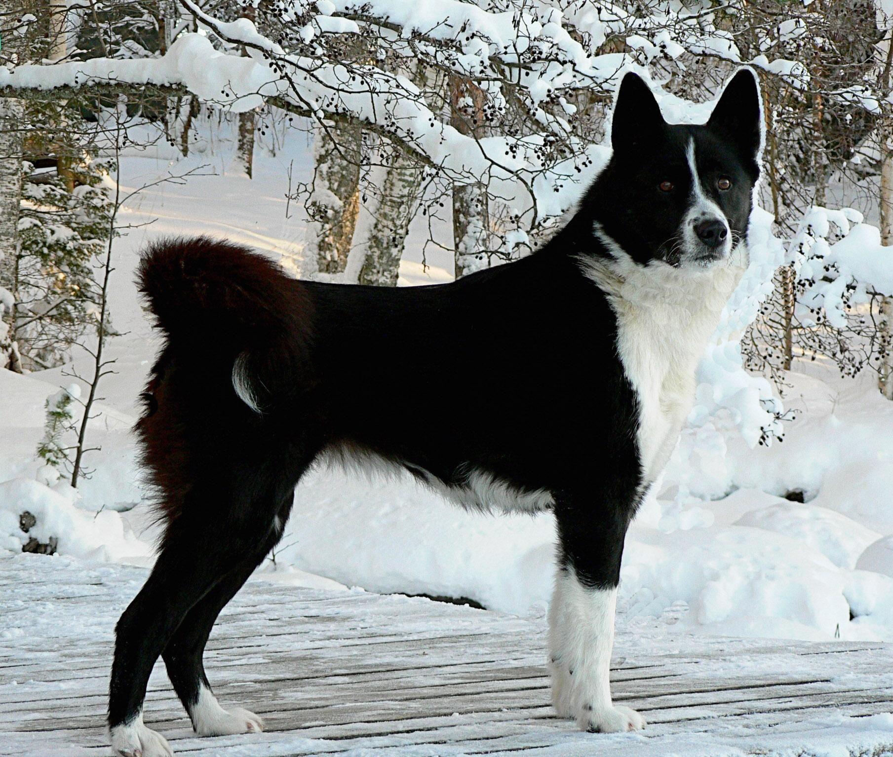 Pin Von B Bajai Auf Karjalankarhukoira Kareliai Mv Hunde Rassen Hunde Und Hunderassen