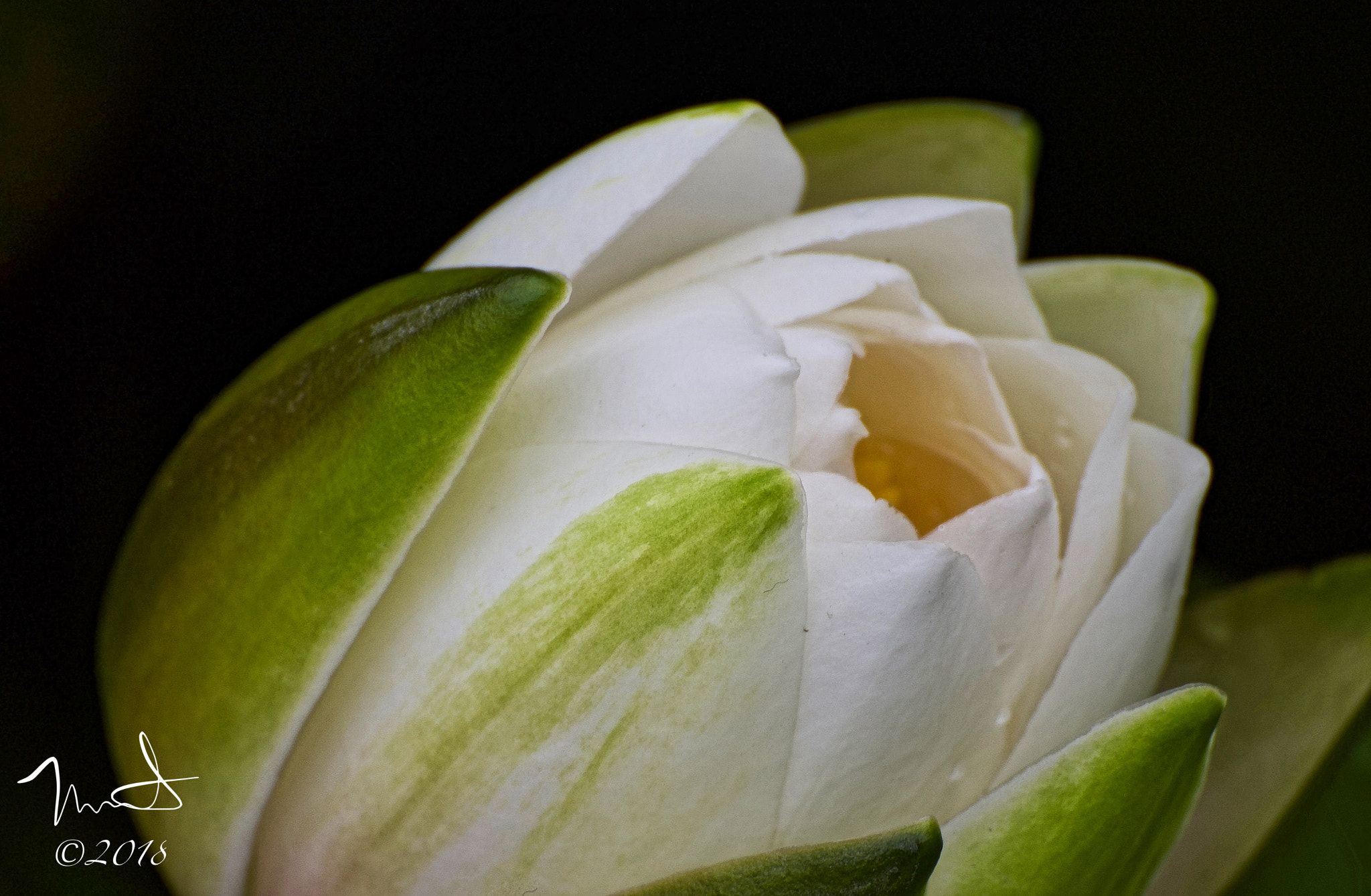 White Lotus Flower Blooming New White Lotus Flower Blooming In A