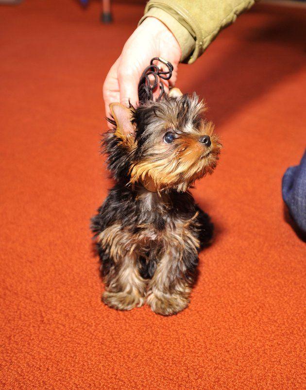 Yorkshire Terrier ヨーキー