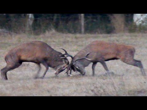 (205) Brame du cerf 2018 Combat HD YouTube Combat