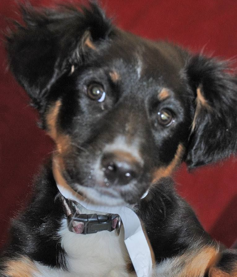DAUBER Australian Shepherd (Mix) Franklin County Dog