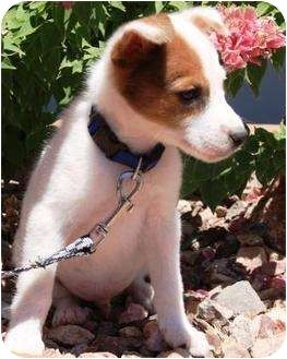 Jack Russell Terrier Border Collie Mix Puppy For Adoption In