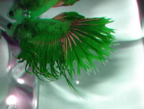 Rare green quadruple ray crown tail betta bettas for Buy betta fish