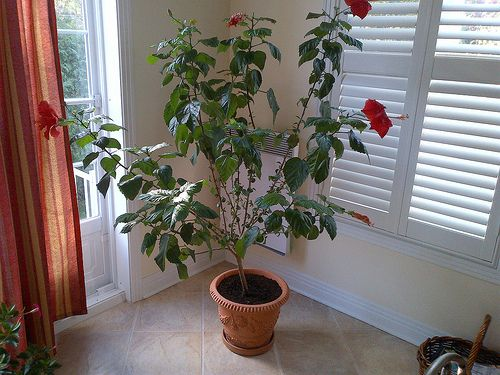 Hibiscus Pruning With Images Container Gardening Flowers
