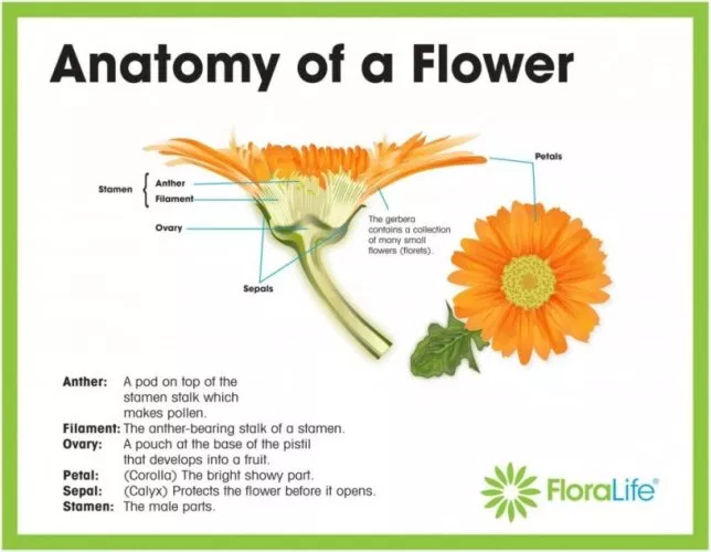 parts of a daisy flower diagram - Google Search   Parts of ...