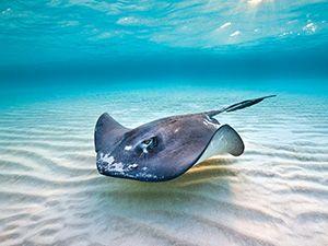 Stingray Wallpaper Sand To Sea Grand Cayman Marine Life Ocean