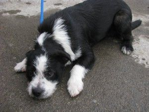 Poodle Boston Terrier Mix Terrier Mix Poodle Mix Terrier