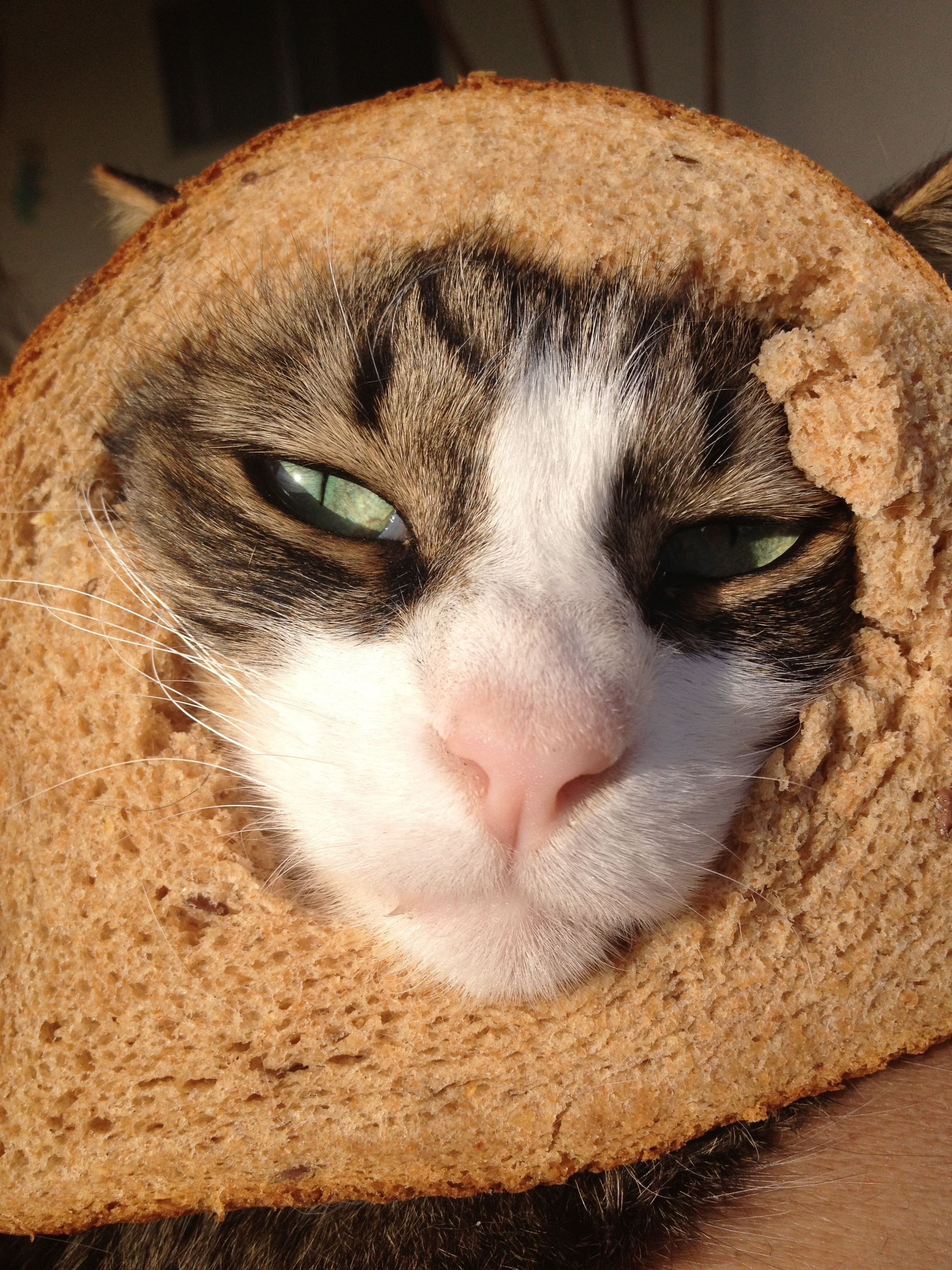 """""""In bread"""" cat (MAX) Cute animals, Therapy cat, Cat lovers"""