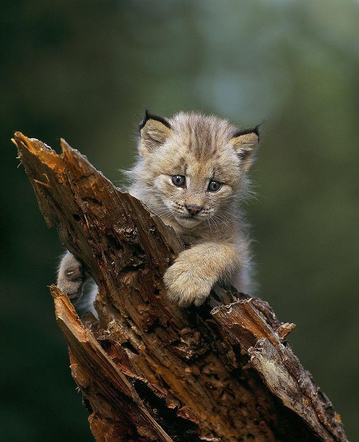 **Canadian lynx kitten, Montana North american wildlife