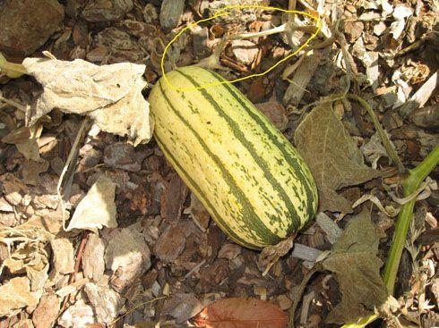 Organic Edible Gardening Harvesting Delicata Edible Garden Harvest Organic Gardening