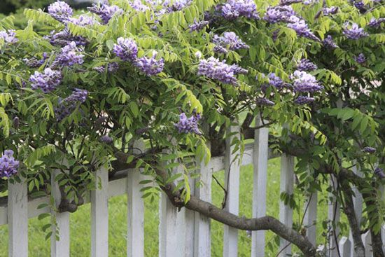 Wisteria vine saferbrowser yahoo image search results secret wisteria vine is a favorite spring flowering vine mightylinksfo