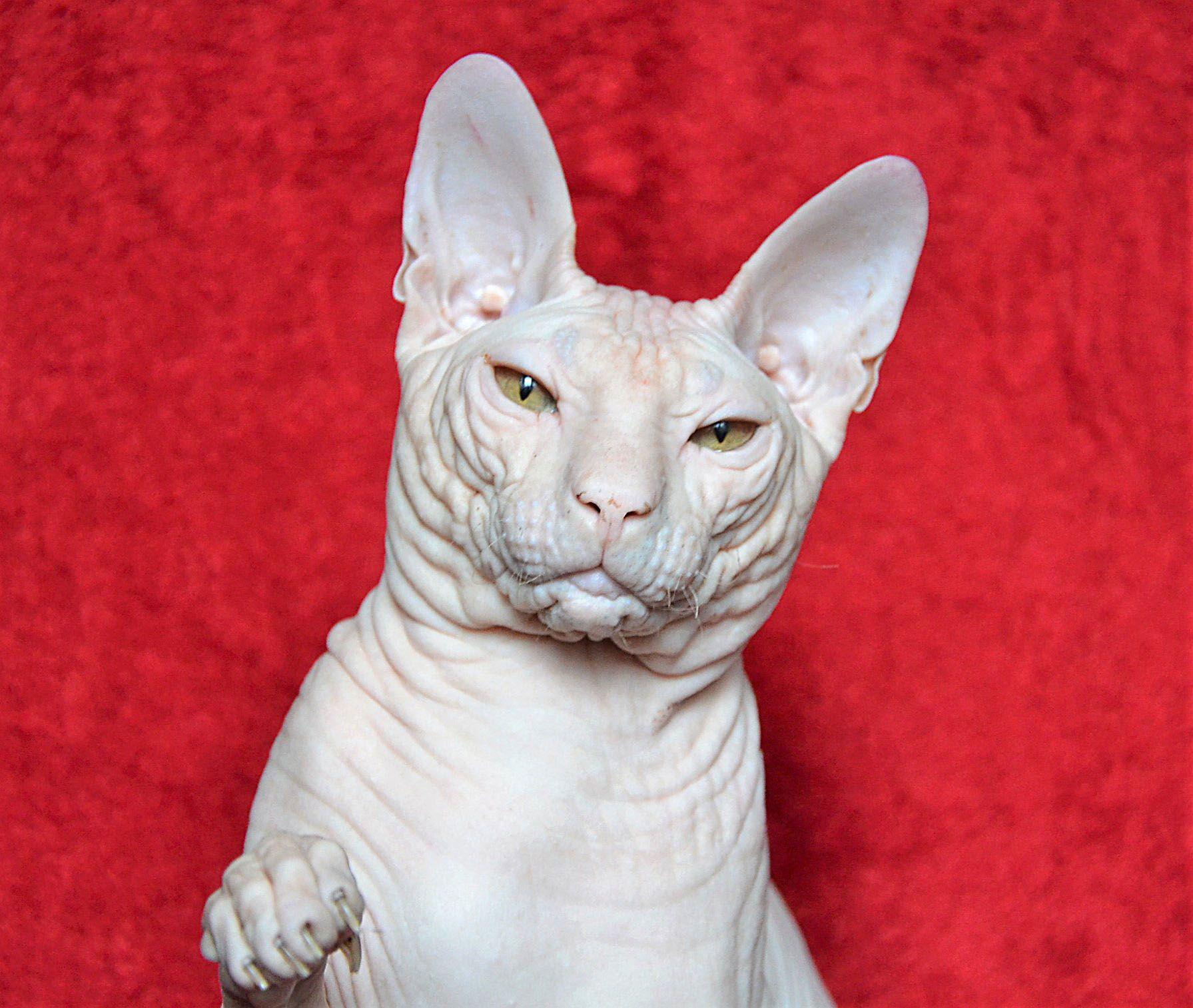 Don Sphynx Male Sphynx Cat Cool Cats Sphynx