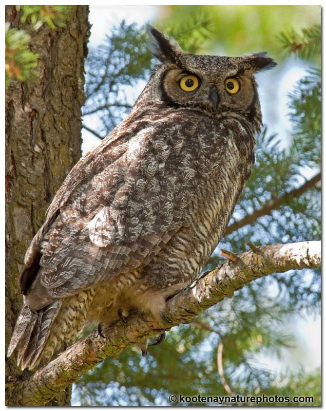 Alberta's bird is the Great Horned Owl