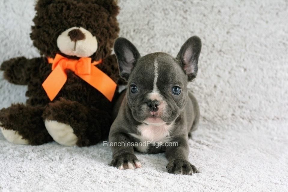 Buy French Bulldog in Ohio. We offer high breeds pugs for