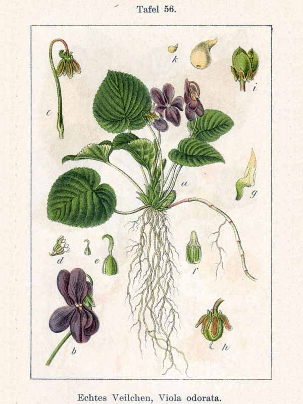 Viola Mammola Illustrazione Botanica Disegno Botanico Disegni Botanici