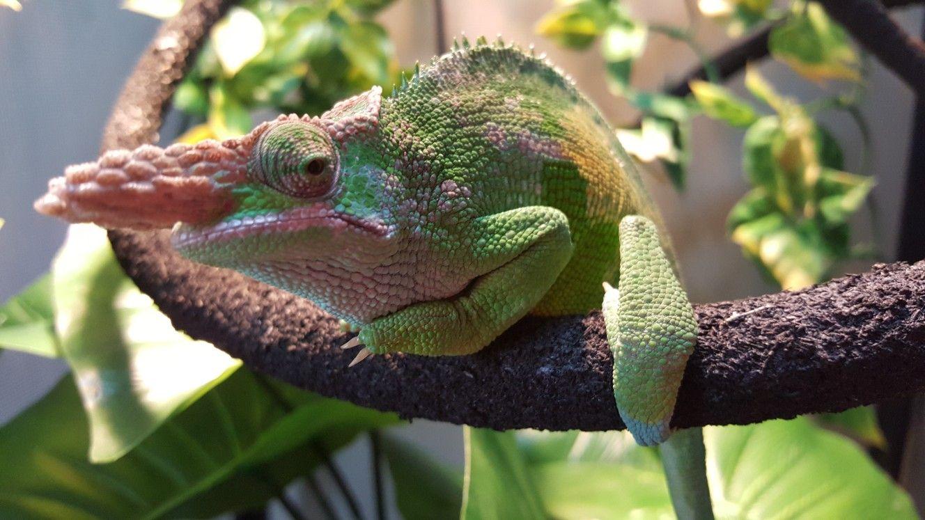 Purlo My Fischer S Chameleon Animals Quokka Chameleon