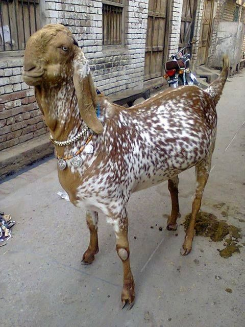Pin on Cow Mandi Pakistan
