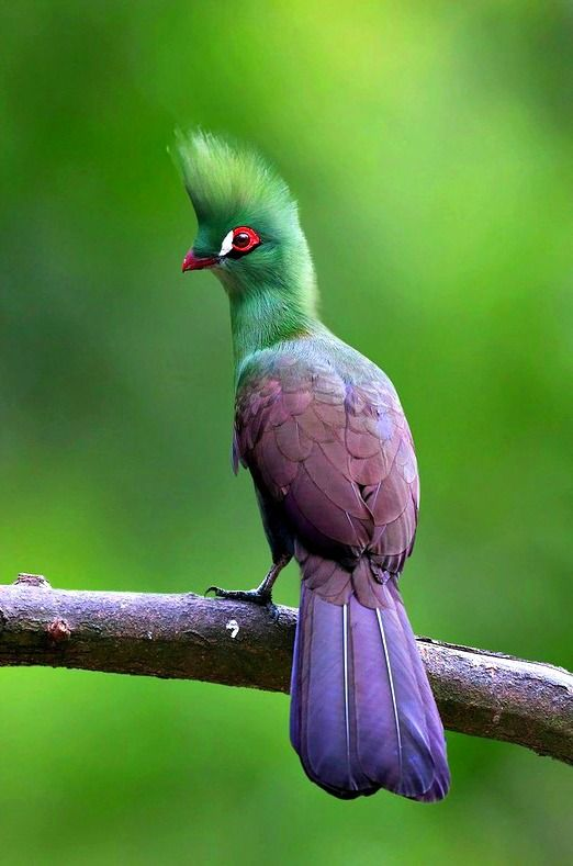 Guinea, or Green, Turaco (Tauraco persa). Found in forests of West and Central Africa. photo: Lawrence Neo.