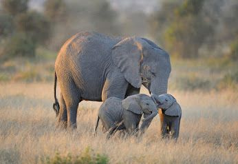 Twin elephant calves at play in Amboseli National Park, Kenya by Diana Robinson