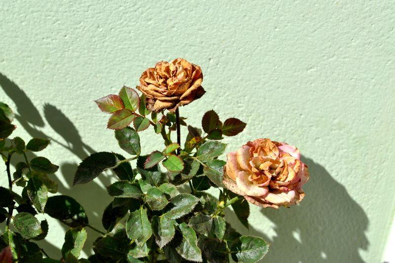 Roses e vintage