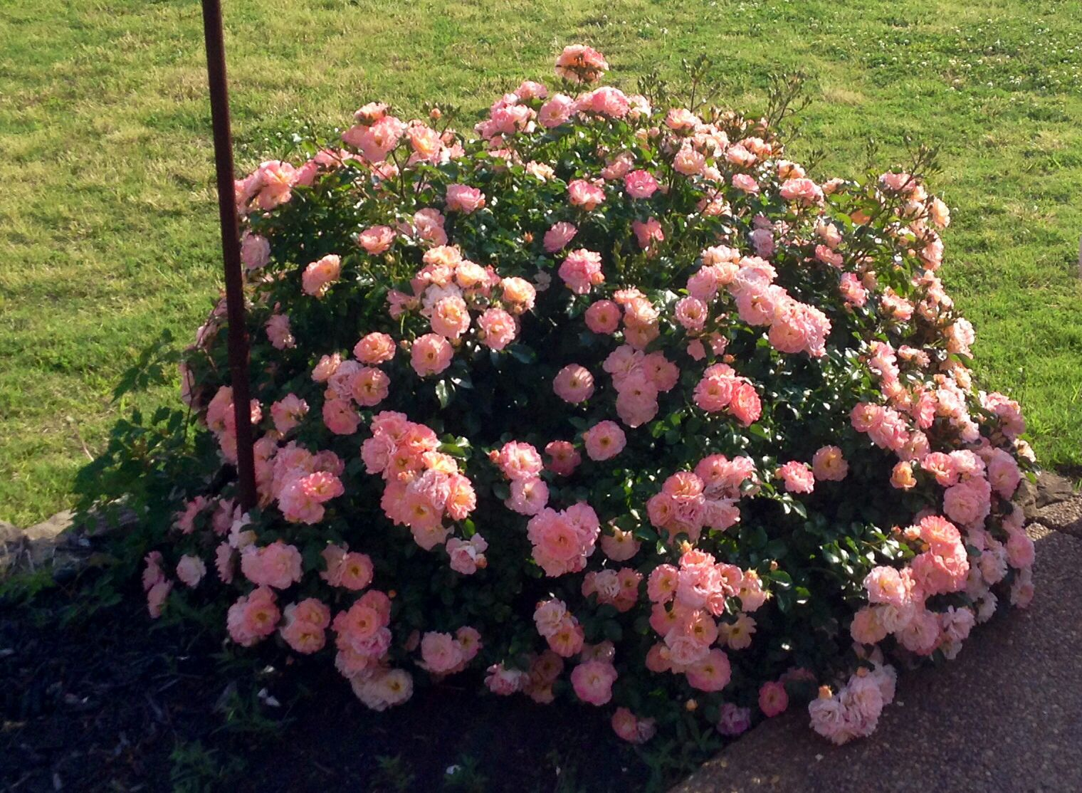 Peach Drift Rose Blooms All Summer Drift Roses Flower