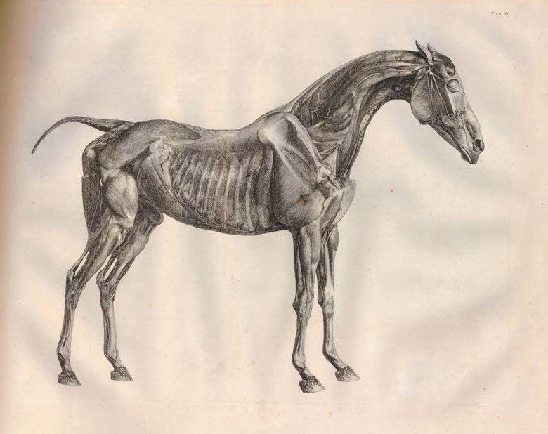 Under the skin of George Stubbs\'s The Anatomy of the Horse | Art ...