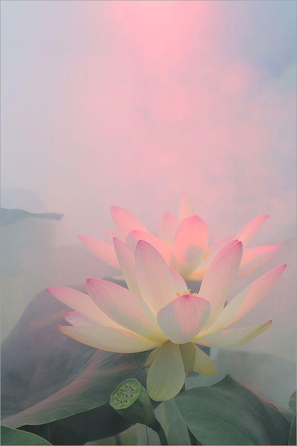 Lotus Flower Bunga Teratai Bunga Latar Belakang