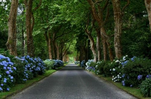 Habitually Chic®: Summer Inspiration for an incredible driveway avenue - lush green trees & blue hydrangeas - pure countryside heaven