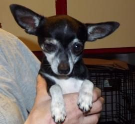 Billy Is An Adoptable Chihuahua Dog In Zanesville Oh Billy Is A