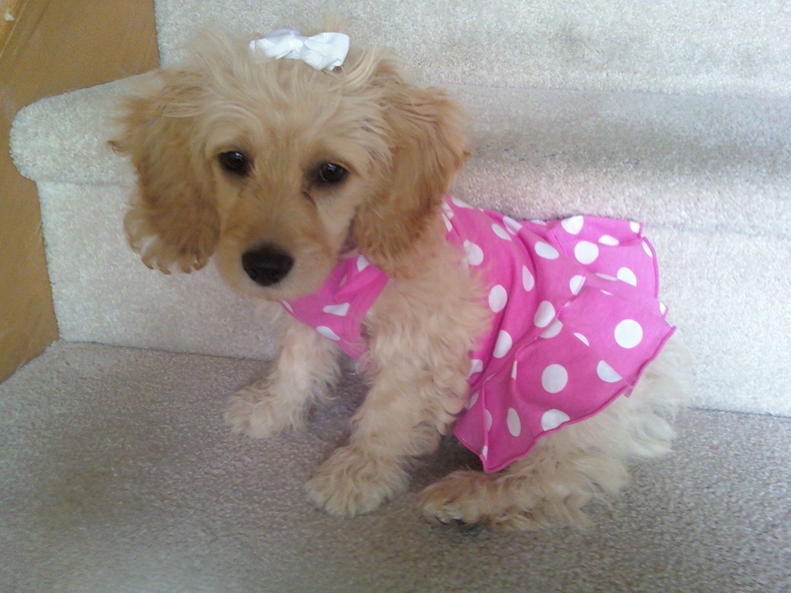 Pretty In Pink Cockapoo With Images Furry Friend Pink Polka