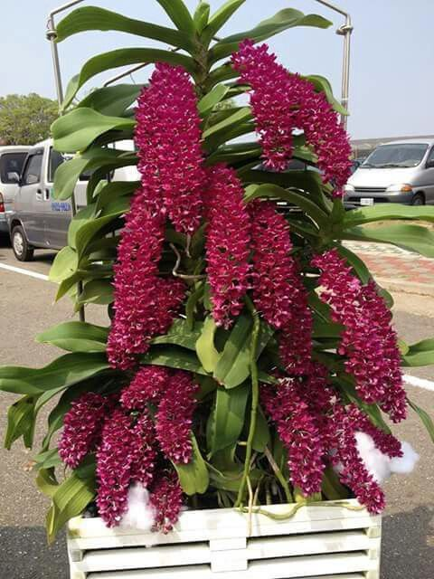 Orquídea - Wanda