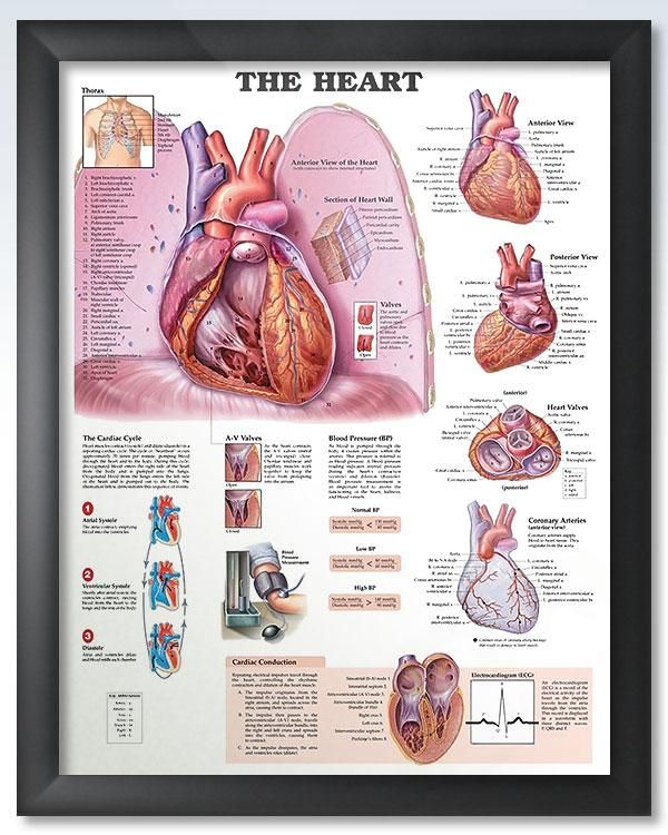 The Heart 20x26 | Anatomy and Human anatomy